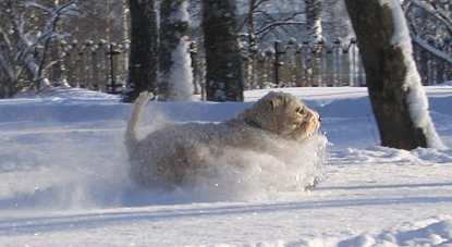 Shiko-in-the-snow-2010.jpg