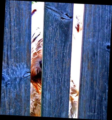 Dagge-bakom-staketet