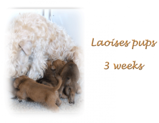 laises-pups-3-weeks