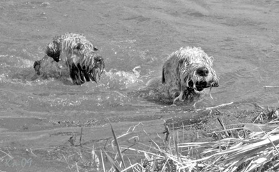 swimming-dogs-sv.jpg